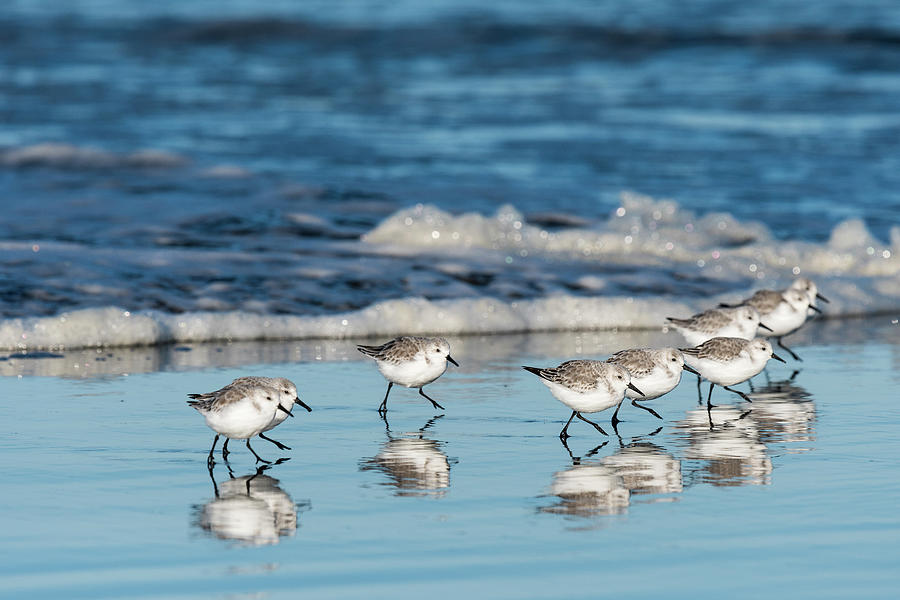 Sanderlings on Sand by Robert Potts