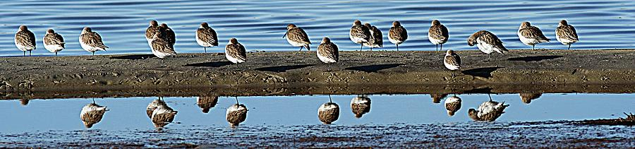 Sanderlings Reflection In Water Photograph