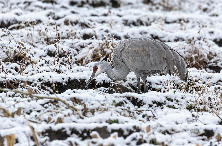 Sandhill Crane 2019-8 by Thomas Young