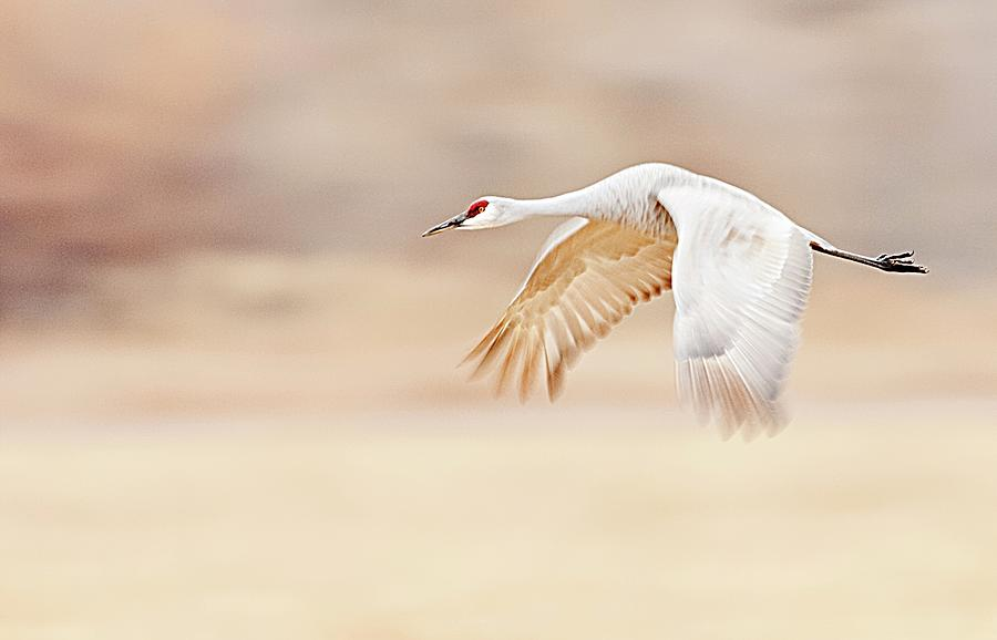 Sandhill Crane Photograph - Sandhill Crane Flying Above Fields by Lori A Cash