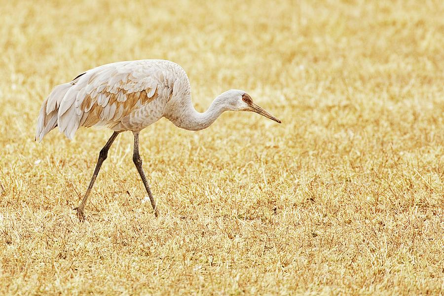Sandhill Crane In Field Photograph