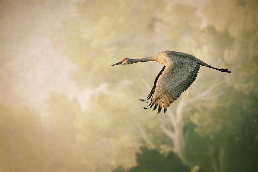 Sandhill Crane In Flight Photograph