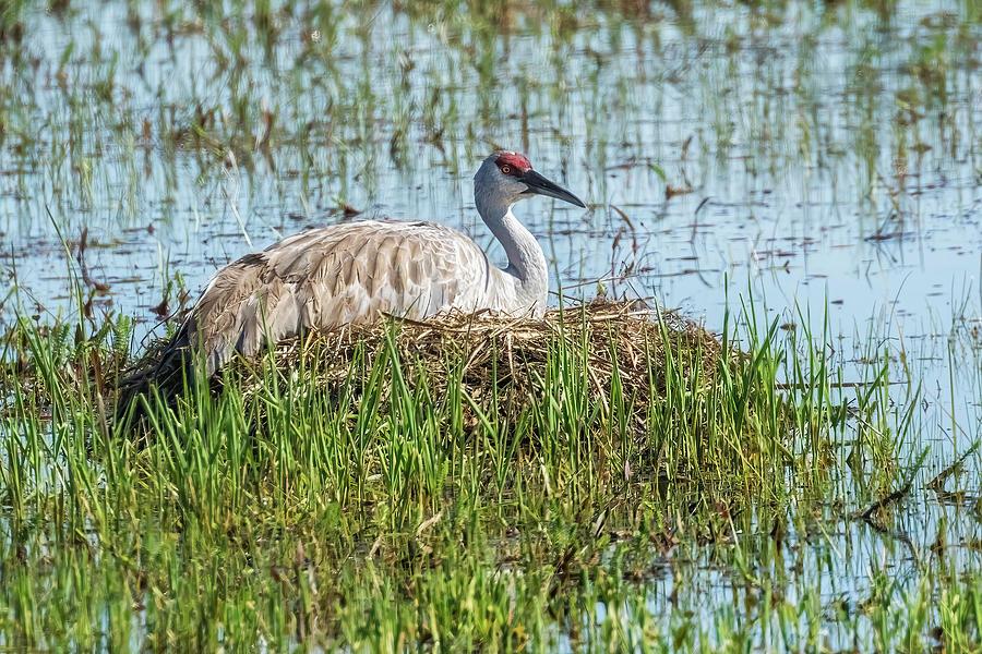Sandhill Crane On Her Nest Photograph