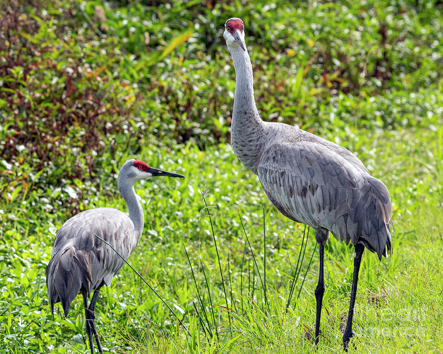 Crane Photograph - Sandhill Crane Pair by Eric Killian