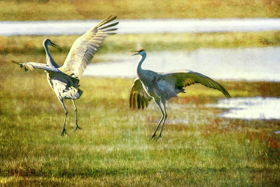 Sandhill Cranes Mating Dance Photograph