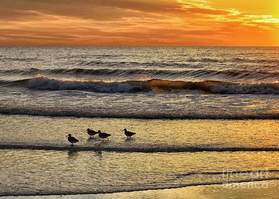 Sandpipers Strolling On Lido Beach Photograph