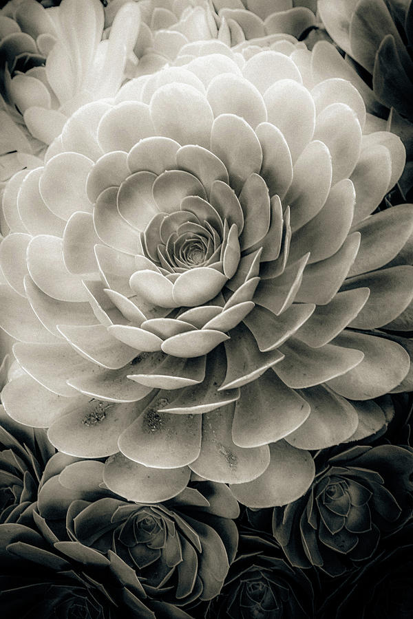 Santa Barbara Succulent#21 by Jennifer Wright