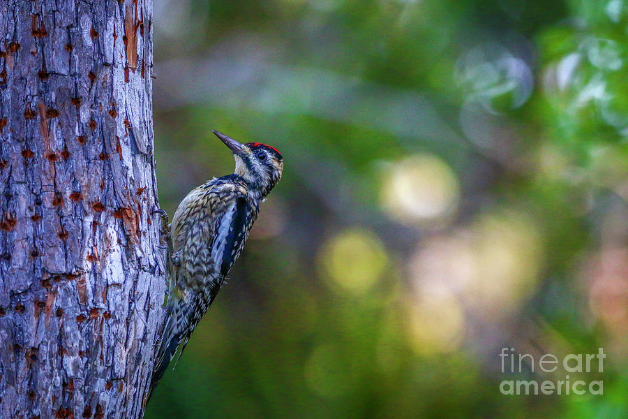 Sapsucker and Tree by Tom Claud