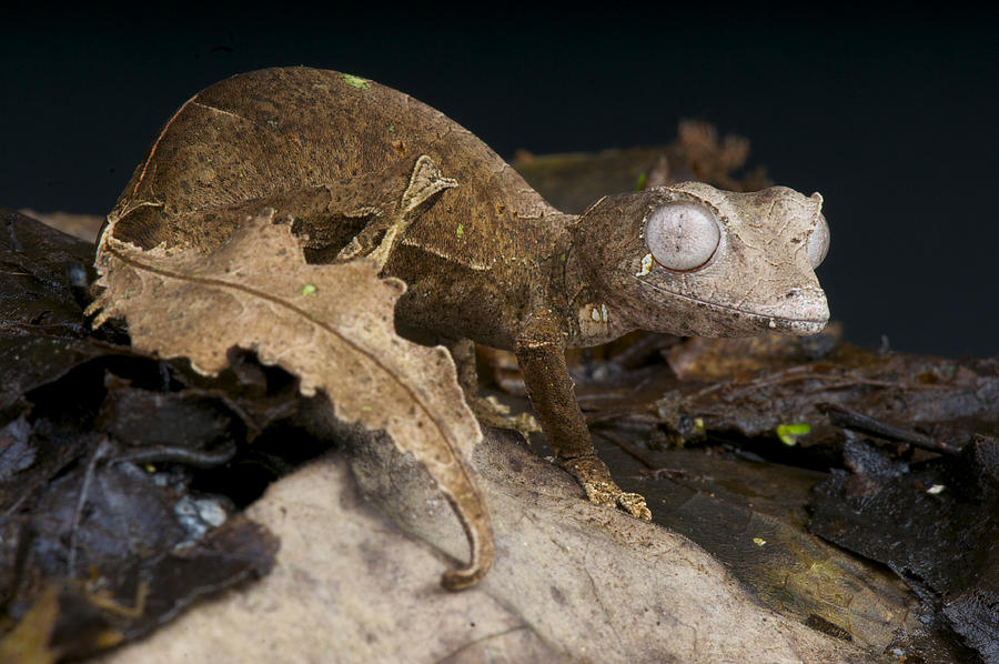 Satanic leaf-tailed gecko / Uroplatus phantasticus Photograph by Reptiles4all
