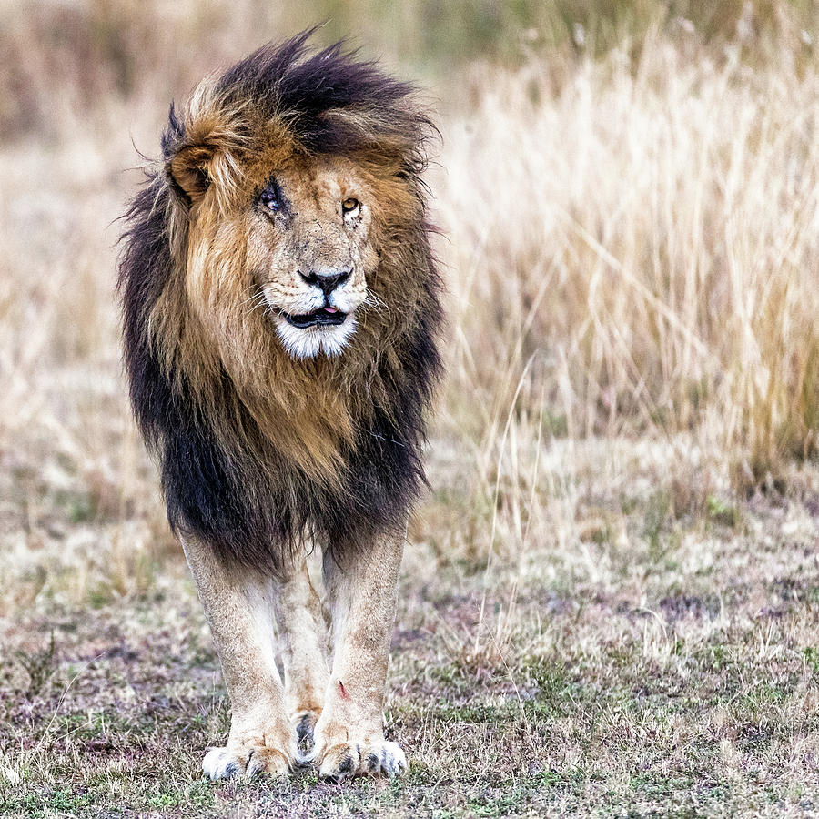 Scarface the Lion King by Susan Schmitz
