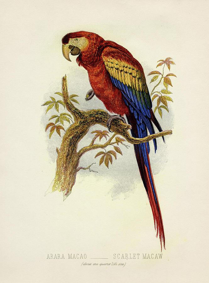 Scarlet Macaw - Arara Macao Painting