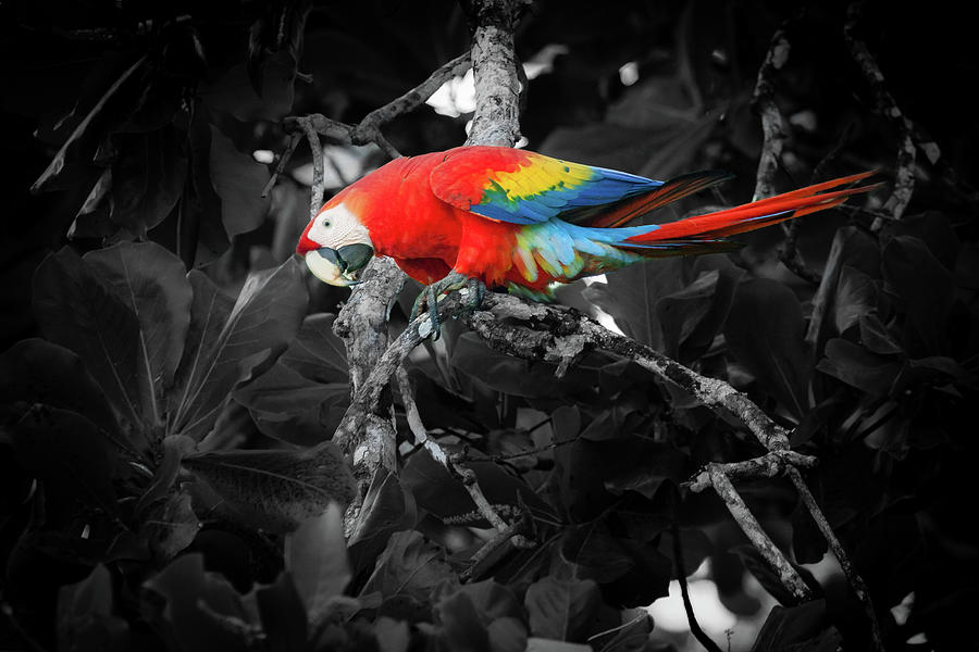 Scarlet Macaw In Costa Rican Forest Photograph