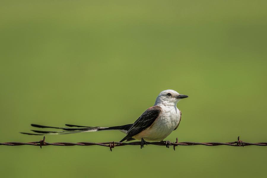 Scissor-tailed flycatcher by Scott Bean