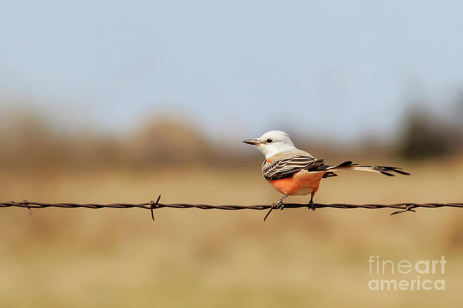 Scissor Tailed Flycatcher Sitting On A Fence Photograph