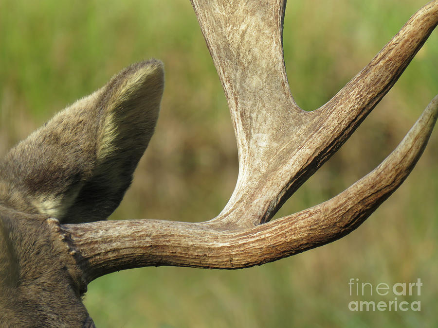 Nature Photograph - Sculpted Antlers by Mary Mikawoz