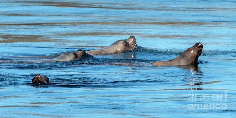 Sea Lion Quartet Photograph