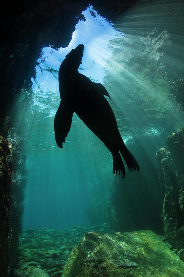 Sea Lion Silhouette Photograph