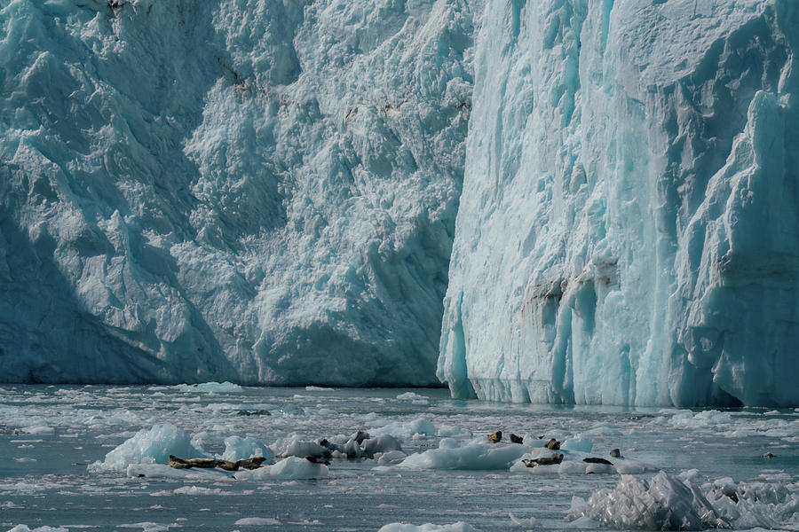 Sea lions on glaciers by Asif Islam