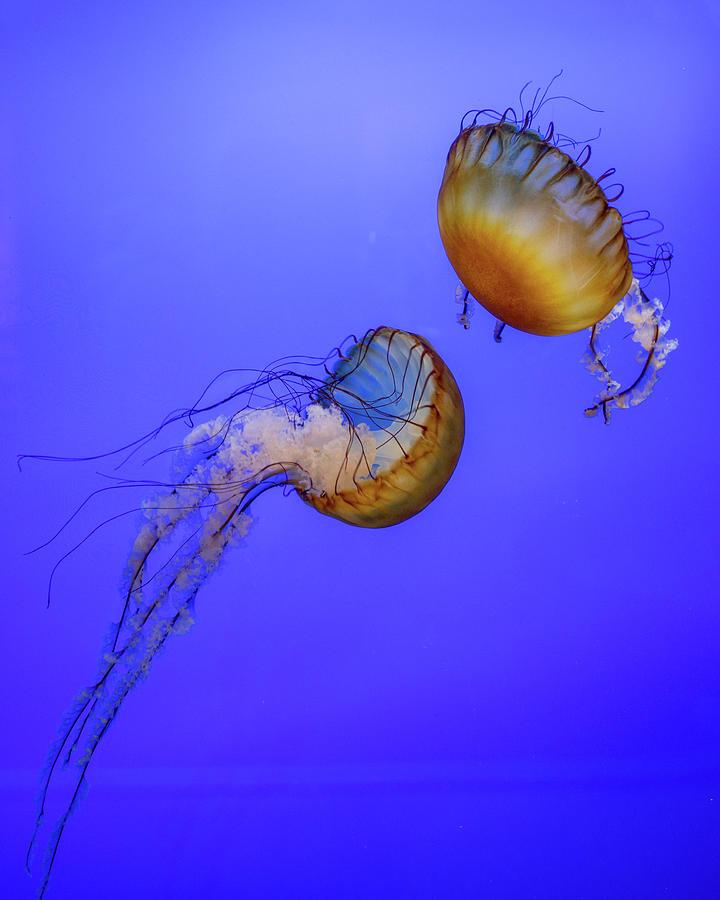 Sea Nettle 2 Photograph