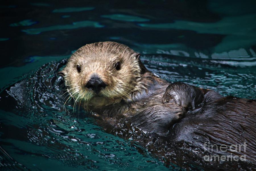 Sea Otter Swim Photograph