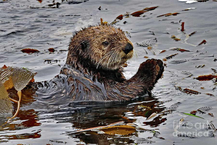 Sea Otter With Sea Weeds Photograph