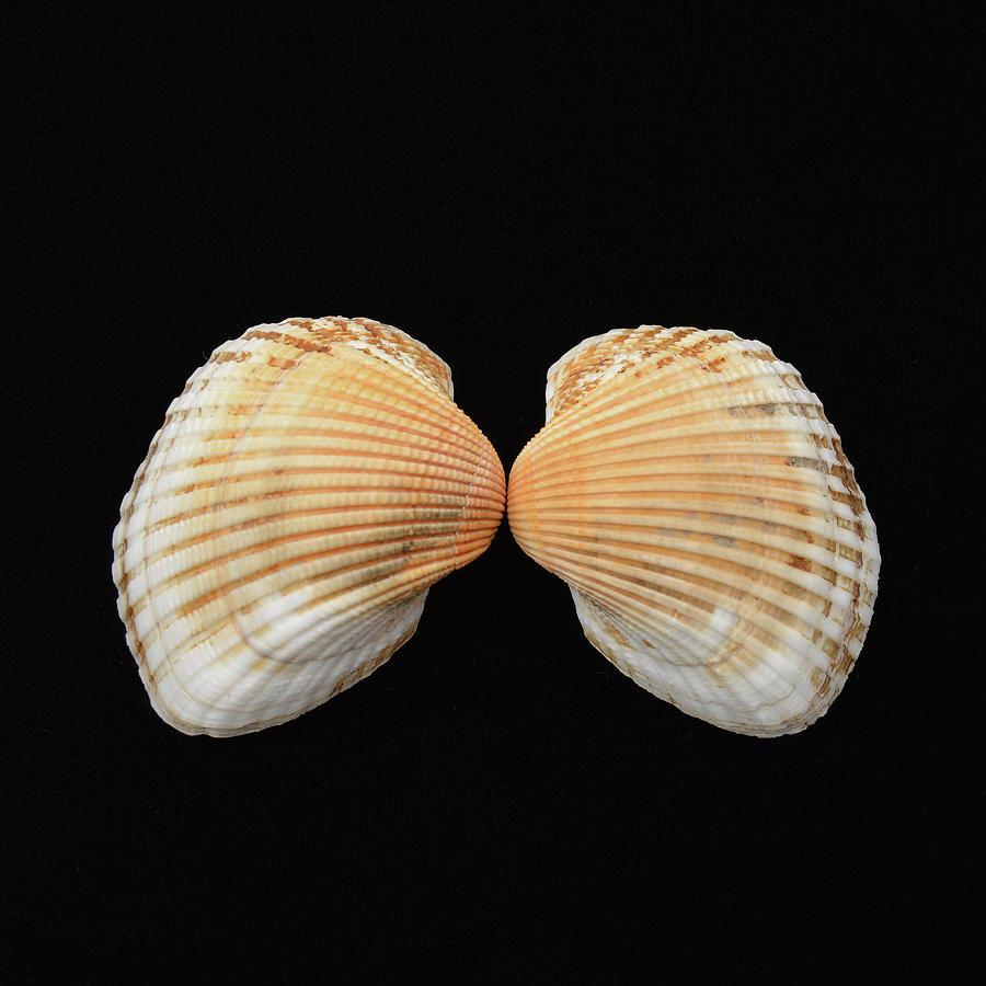 Scallops Photograph - Sea Shells Study #1 by Lea Rhea Photography