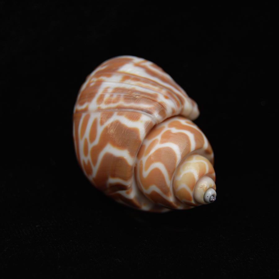 Sea Shells Photograph - Sea Shells Study #11 by Lea Rhea Photography