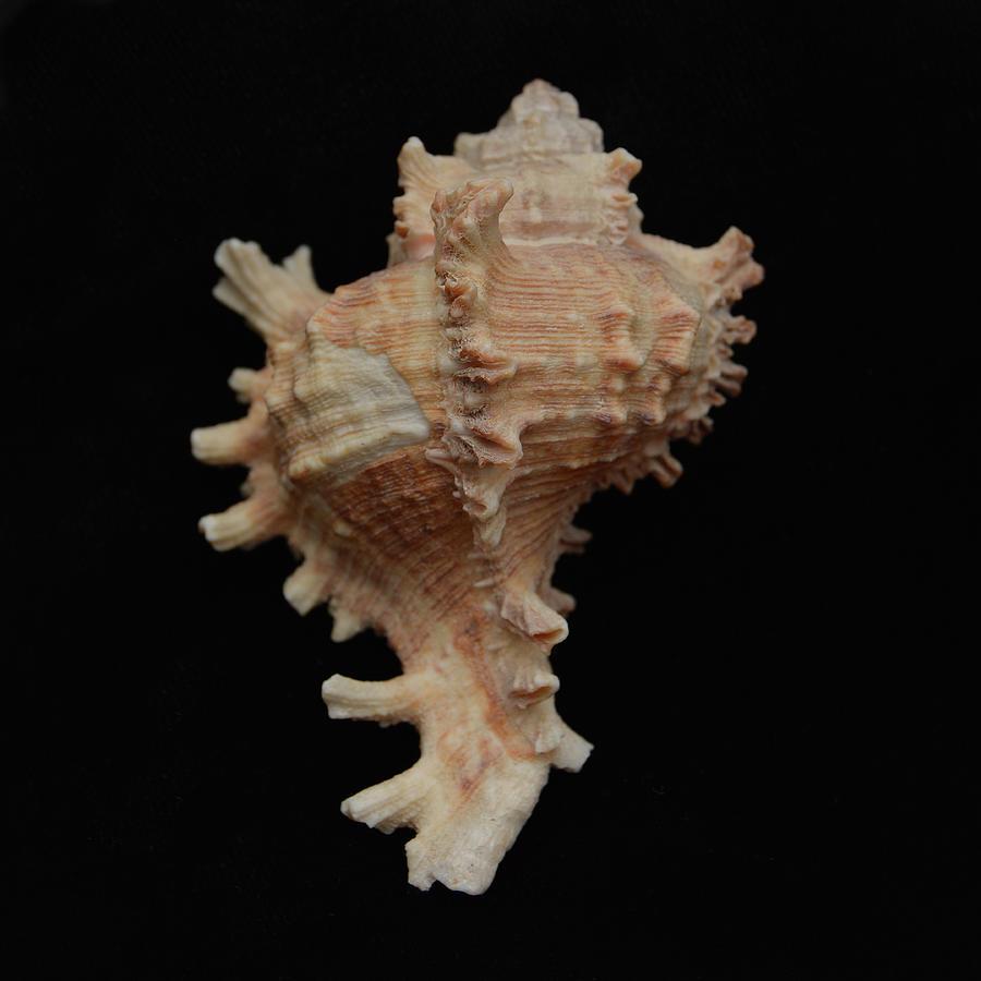 Sea Shells Photograph - Sea Shells Study #8 by Lea Rhea Photography