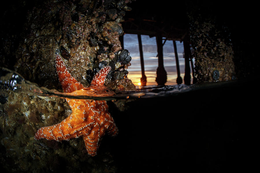 Sea Star Under Pier Photograph