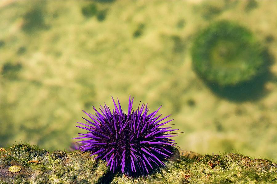 Sea Urchin Photograph