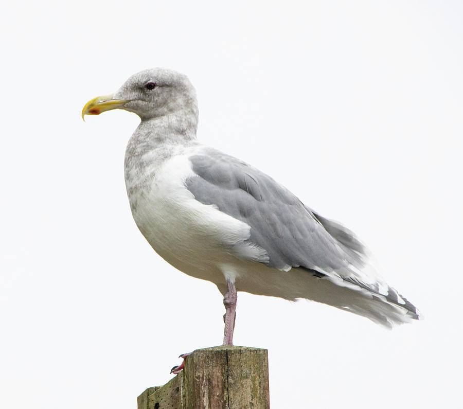 Seagul On Post 2 1052020 1168 Photograph by David Frederick