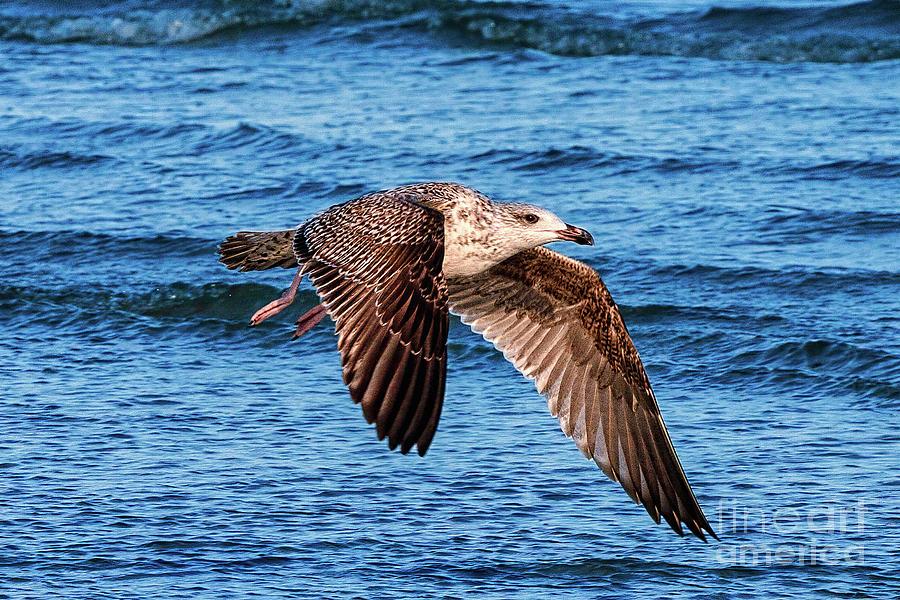 Seagull Flying by Dan Carmichael