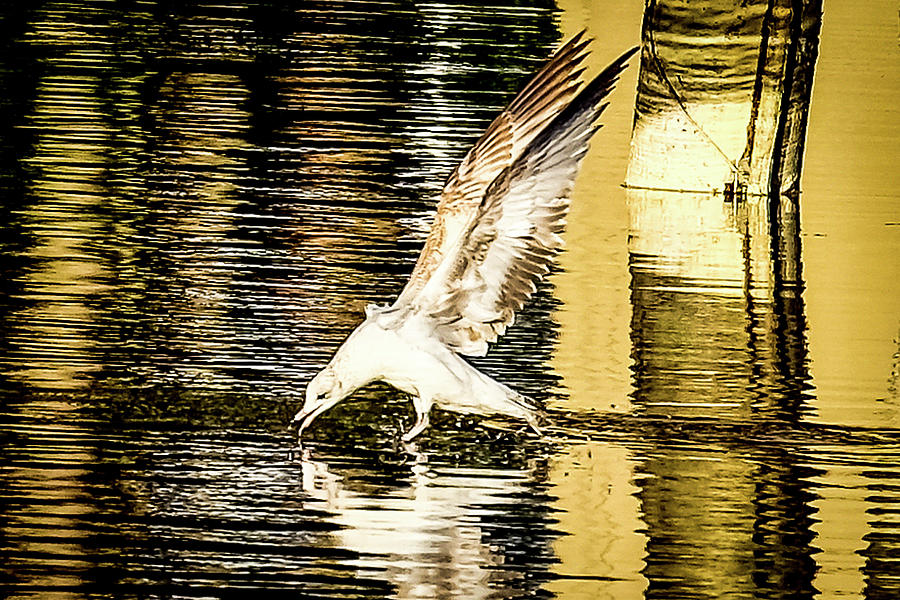 Seagull Photograph - Seagull Landing by Mike Thomas