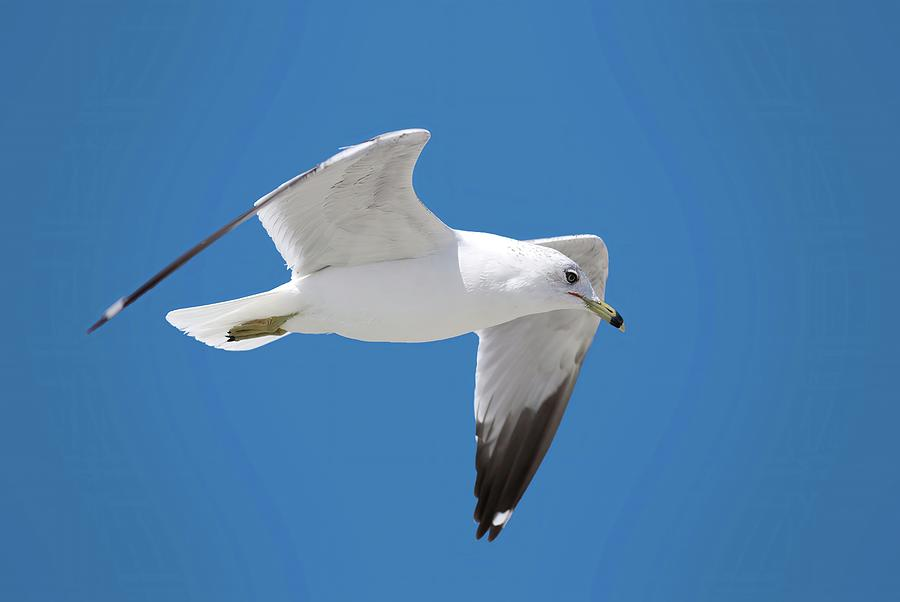 Seagull over Tybee by Ludwig Keck