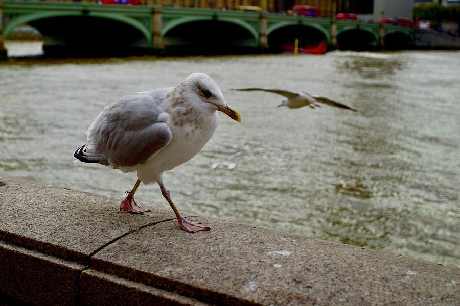 Seagull, South Bank, London. Photograph