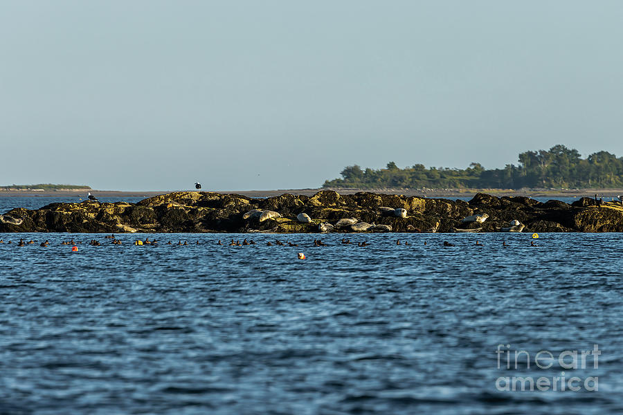 Seals Seagulls And Sea Ducks Photograph