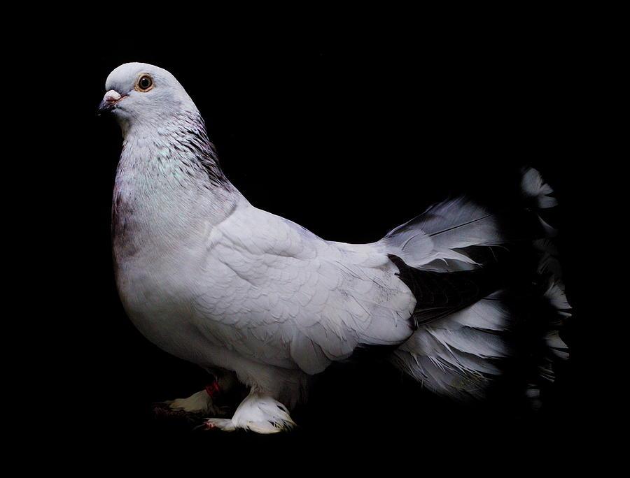 Seljuk Pigeon by Nathan Abbott