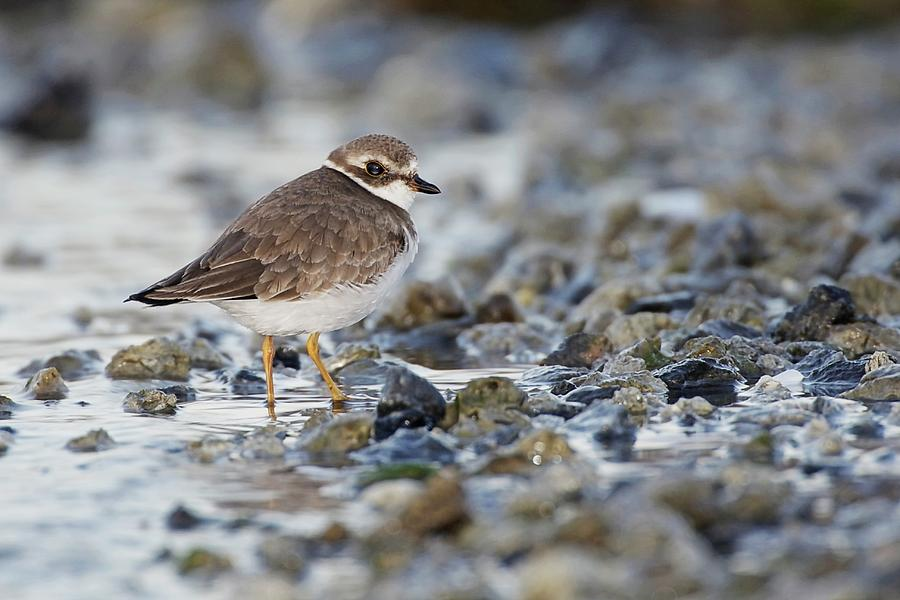Semipalmated Plover On Rocks At Beach Photograph