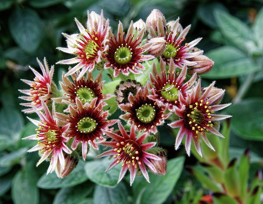 Sempervivum Photograph - Sempervivum Flowers by Jeff Townsend
