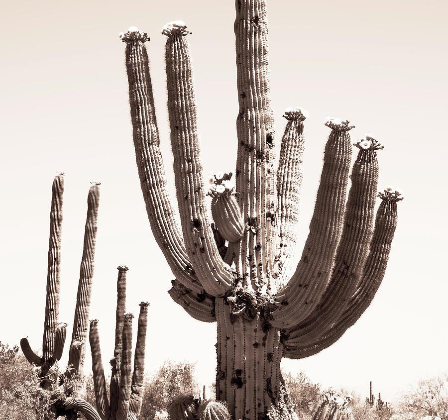 Sepia Saguaros Photograph