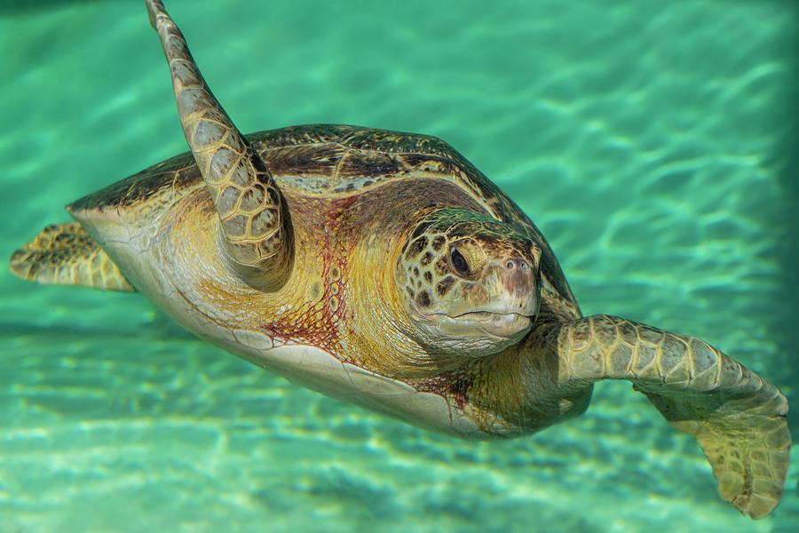 Seaturtle Photograph - Serene Sea Turtle by Jonathan Hansen