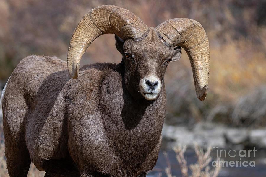 Serious Bighorn Ram Photograph