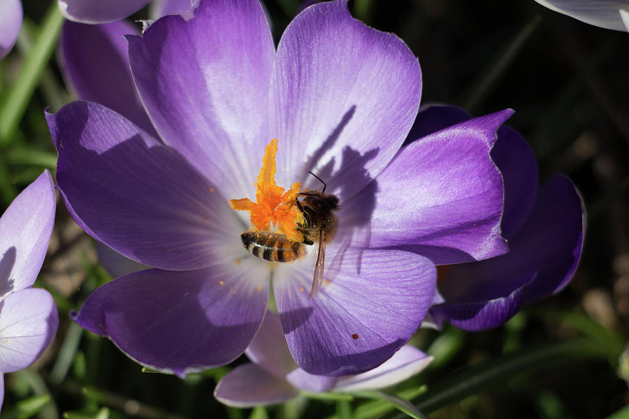 Shadow Of The Honeybee Photograph
