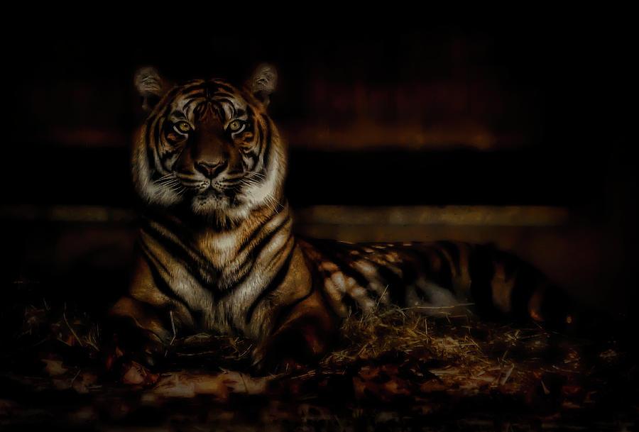 Shadow Tiger Photograph