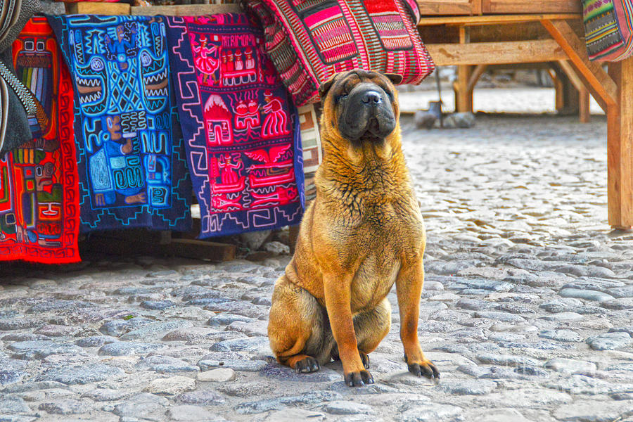 Shar Pei in Peruvian Market by Catherine Sherman
