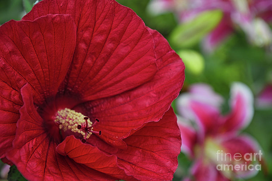Sharp Hibiscus Flower by Amy Dundon
