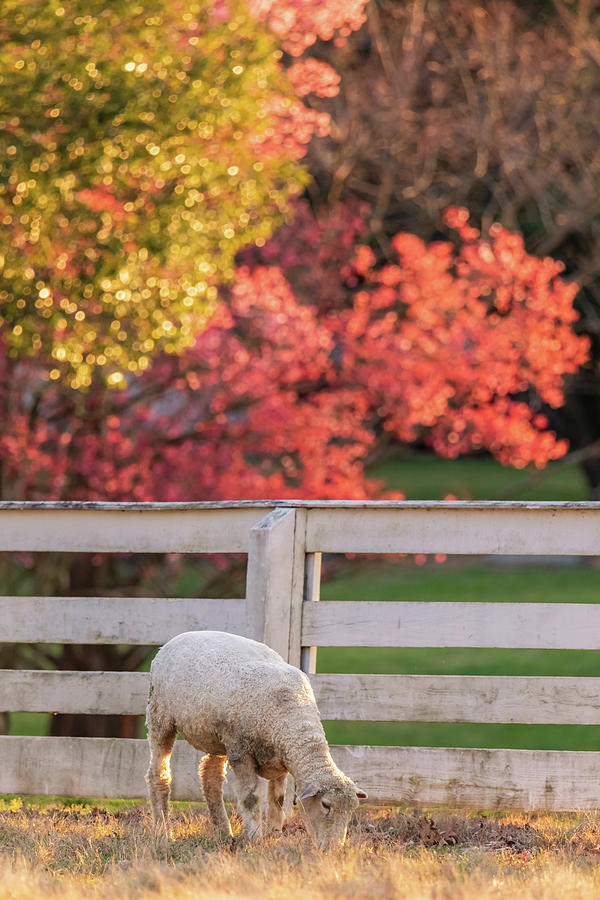 Sheep In A Pasture With Cherry Blossoms Photograph