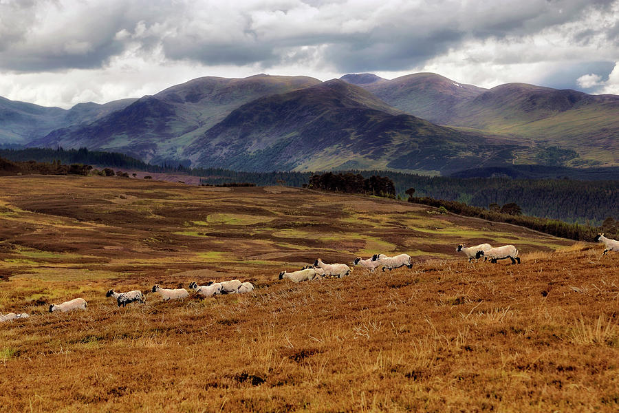 Sheep in the Scottish Highlands - Perthshire Scotland - Landscape by Jason Politte