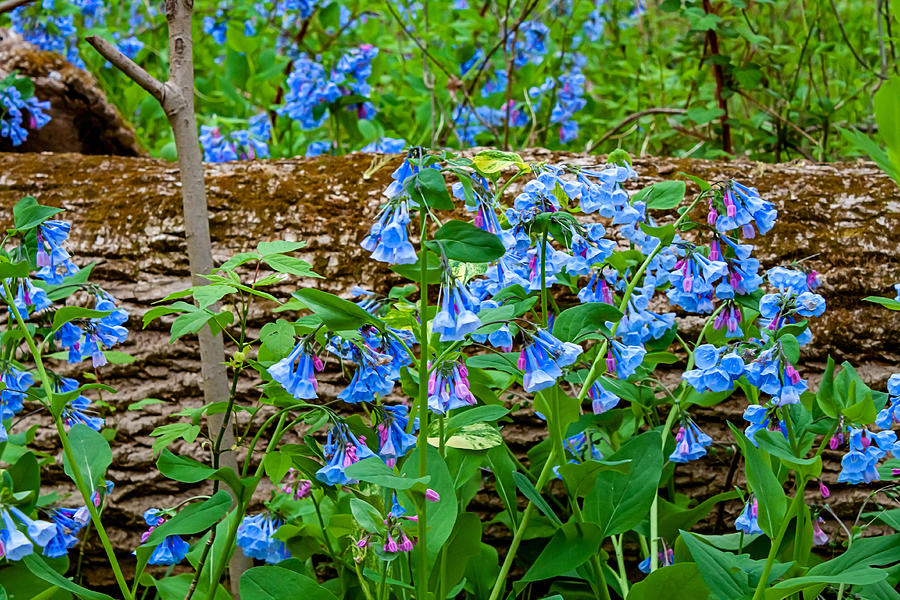 Shenandoah Bluebells 7 Photograph