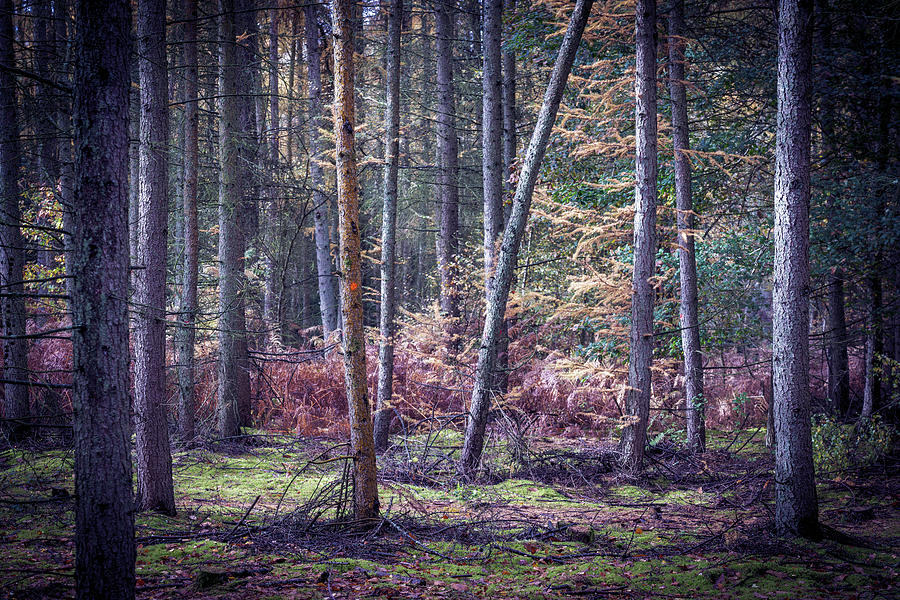 Ancient Photograph - Shere Common near Albury, Surrey by Nick Lewis